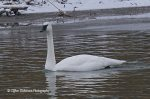 Trumpeter Swan. 10 December 2017, Port Burwell Harbour, Municipality of Bayham, Elgin Co.