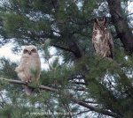 owlet on left, juvenile on right.