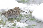 Wilson's Snipe. 15 December 2017, Blenheim, Municipality of Chatham-Kent.