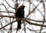 Rusty Blackbird. 12 December 2017, Monarch Landing, Port Burwell, Municipality of Bayham, Elgin Co.
