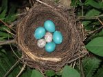 with Brown-headed Cowbird eggs.