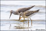 juvenile (front) with Lesser Yellowlegs juvenile.