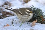 Black-throated Gray Warbler. 11 December 2017, Britannia CA, Ottawa.