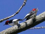 Red-headed Woodpecker. 8 May 2017, Port Burwell, Municipality of Bayham, Elgin Co.