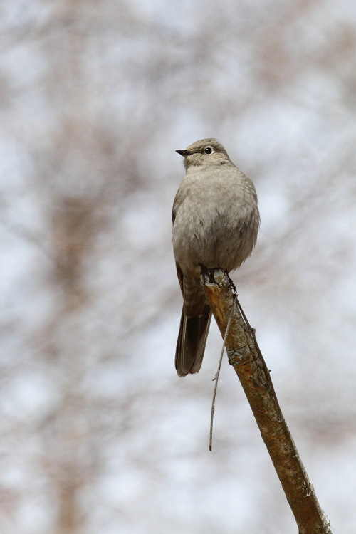 Townsend's Solitaire