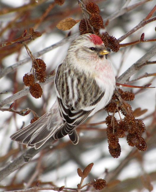 Southern Hoary Redpoll