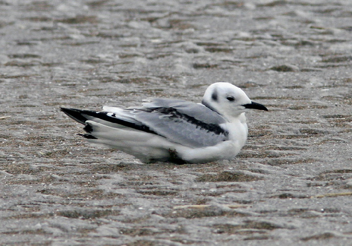 Black-legged Kittiwake