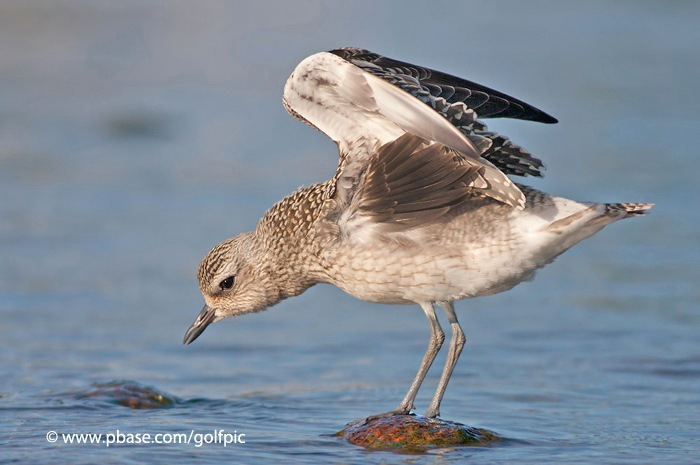 Black-bellied Plover