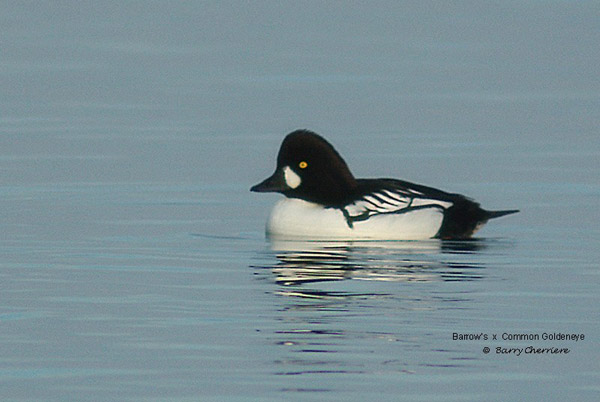 Common Goldeneye