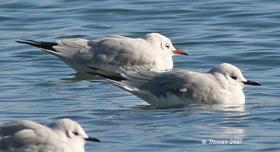 details head gull